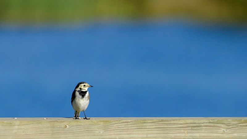 Pied Wagtail - Newdigate, Surrey