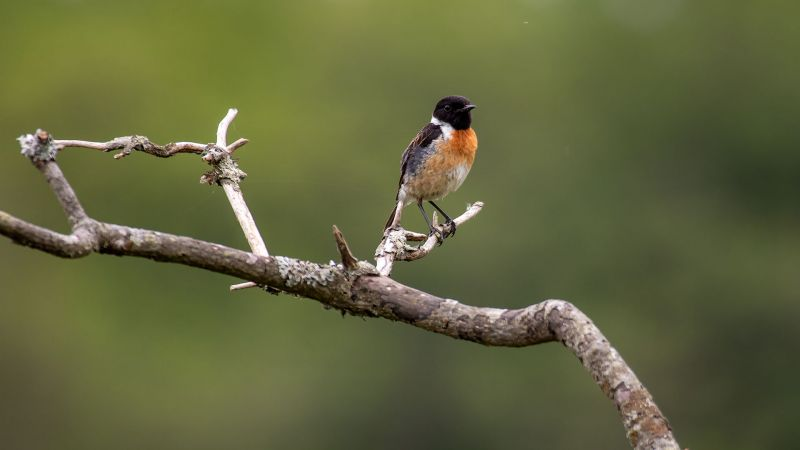 Stonechat - New Forest, Hampshire
